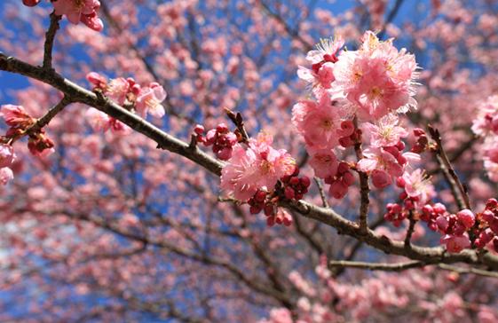 赏樱花包车之旅、赏樱包车旅游景点推荐